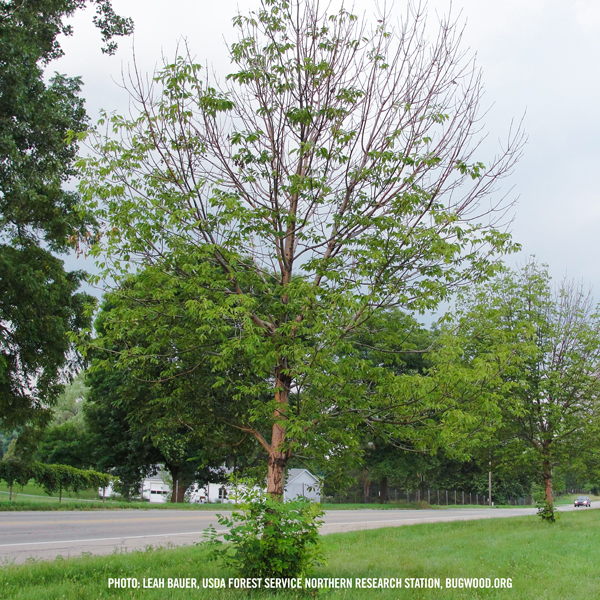 Ash Tree with Emerald Ash Borer